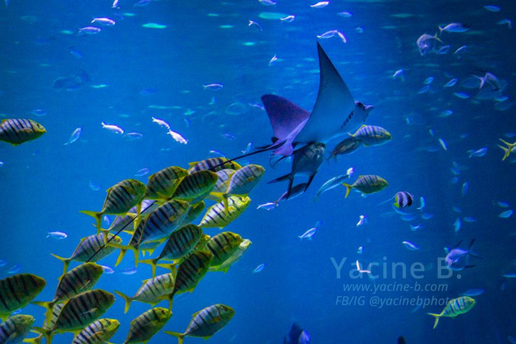 Nausicaa : Raie diable suivie par un banc de poissons