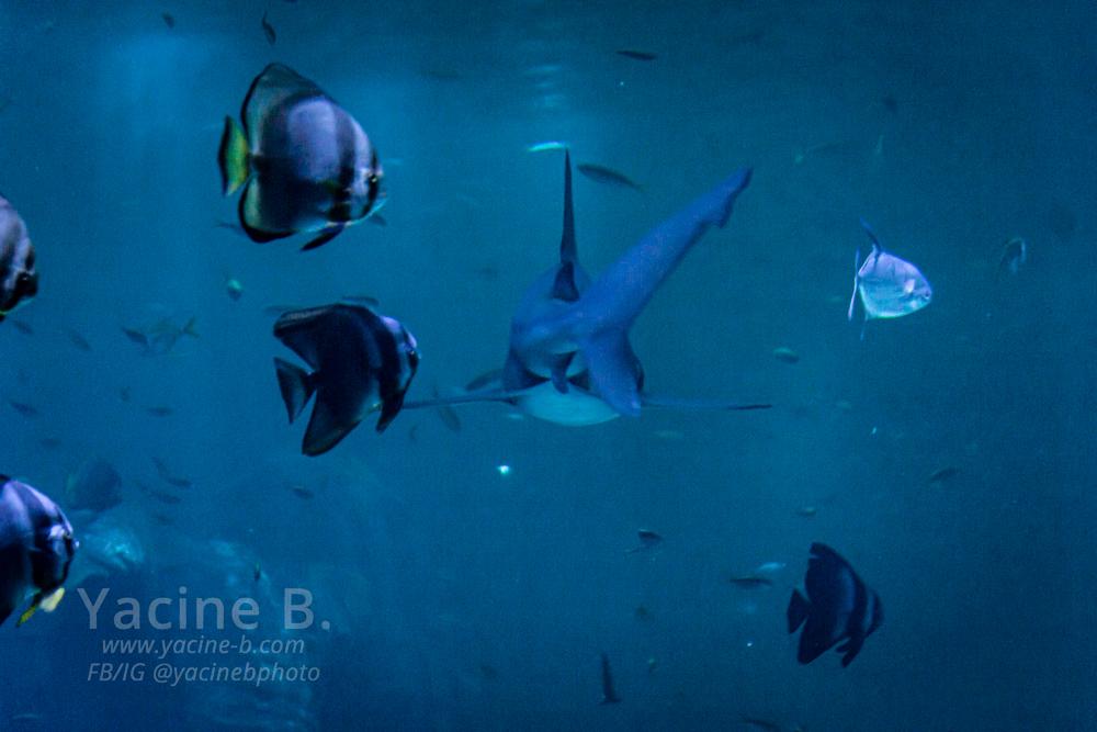 Nausicaa : Requin